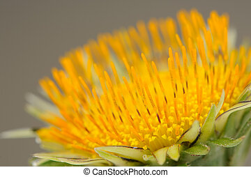 Yellow Dandelion (Taraxacum Officinale) Flower Macro - Macro...