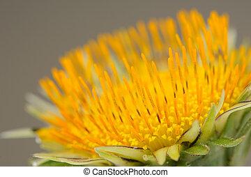 Yellow Dandelion (Taraxacum Officinale) Flower Macro - Macro...