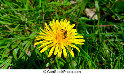 Yellow dandelion with bee on the green grass, close-up