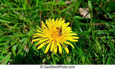 yellow dandelion with bee