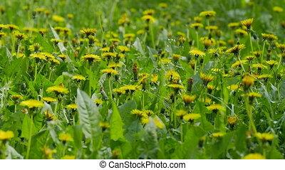 Yellow dandelions field green landscape background video 4k