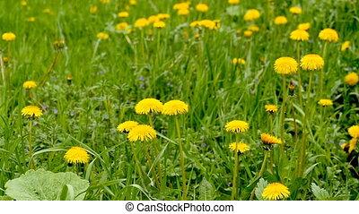 field of yellow dandelions in spring