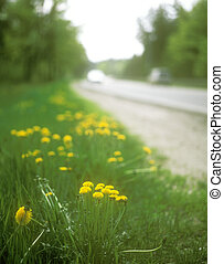 Flowers of the yellow dandelion on the roadside.