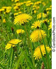 yellow dandelions glade