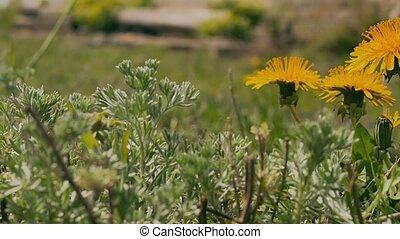 yellow dandelions green grass video summer nature landscape...