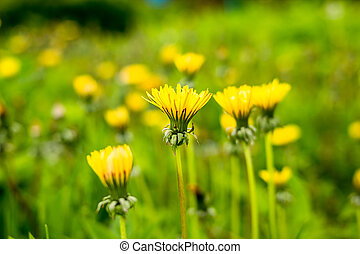 yellow dandelions growing on a lawn illuminated by the sunlight. Selective focus. yellow spring flowers in meadow. Spring concept.