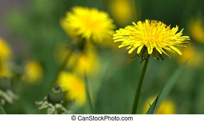 Yellow dandelions in green grass 4K dolly close up video