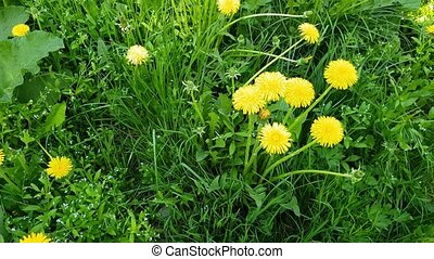 Yellow dandelions in spring on glade - Yellow dandelions in...