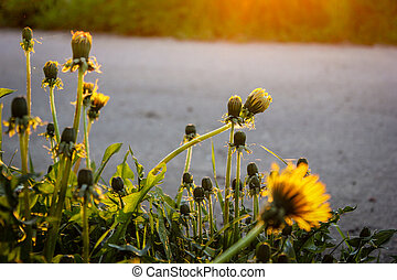 yellow dandelions in the last rays of the sun