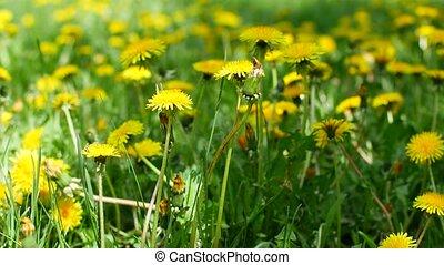 Yellow dandelions in the meadow in the garden. - Yellow...