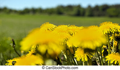 yellow dandelions in the meadow under blue sky and sunny sky