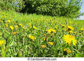 yellow dandelions in the weed green grass on trees background