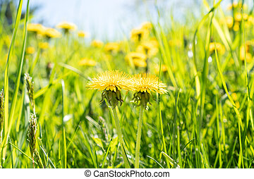 Yellow dandelions on a summer meadow