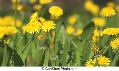 Yellow dandelions on a sunny spring day