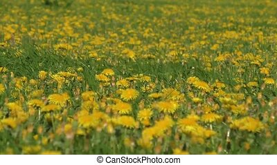 Yellow dandelions on the green field closeup in spring