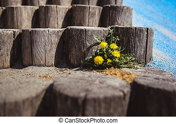 Yellow Dandelions on the old wooden stairs