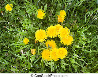 Yellow dandelions the top view