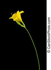 Yellow day lily on dark background - Hemerocallis 'Stella De...