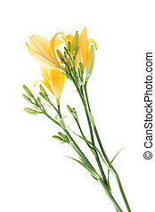 yellow daylilies isolated on white background