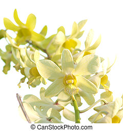 Yellow dendrobium orchid flower on white background