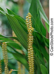 Yellow Dendrochilum filiforme orchid flower blooms in a...