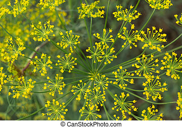 yellow dill flowers closeup background texture