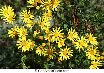 yellow doronicum flowers