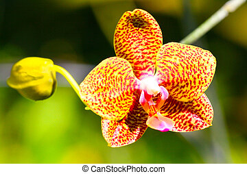 Yellow Dotted Palaenopsis Orchids