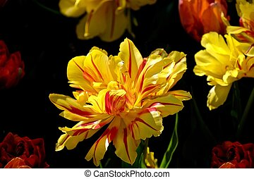 Yellow double tulip on black background.