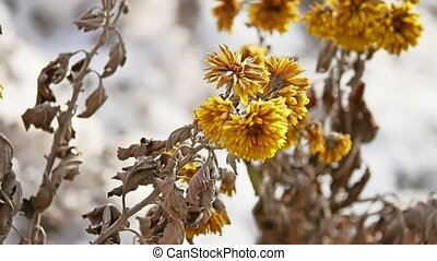 yellow dry flowers swaying in the wind winter nature -...