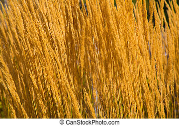 Yellow dry grass field background sunny day