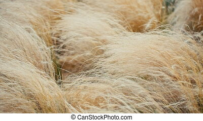 Yellow dry grass in the wind