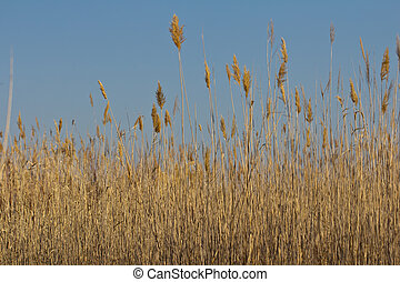 yellow, dry reeds in the background