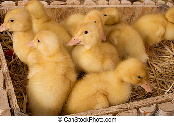 Yellow ducklings in a box with straw