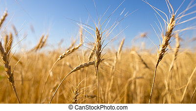 Yellow ears of wheat against the blue sky
