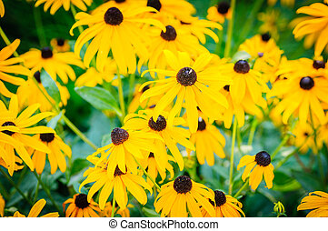 Yellow echinacea flowers as very nice natural background