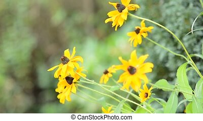 Yellow Echinacea (Rudbeckia) flowers move with the wind.