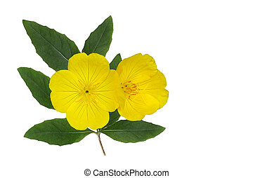 Yellow Evening Primrose (Oenothera fruticosa) flower and ...