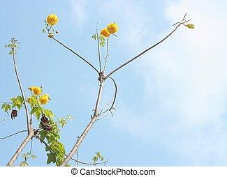 Yellow exotic flowers on a tree (Cochlospermum regium)