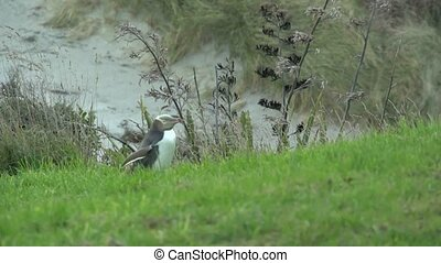 Yellow eyed penguin 4. - The yellow Eyed Penguins return to...