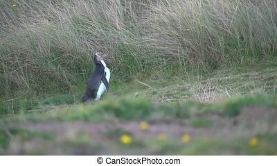 Yellow Eyed Penguin - DUNEDIN, NEW ZEALAND - May 2012. Close...