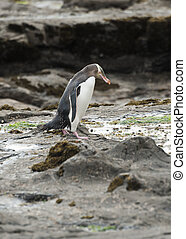 Yellow-eyed penguin