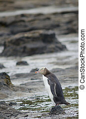 Yellow-eyed penguin Megadyptes antipodes. Curio Bay. Southland. South Island. New Zealand.