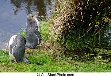 Yellow-eyed penguins Megadyptes antipodes. Immatures under controlled conditions. Yellow-Eyed Penguin Reserve. Otago Peninsula. New Zealand.