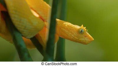 Yellow Eyelash Viper, Costa Rica - Graded version. Watch...