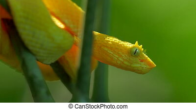 Yellow Eyelash Viper, Costa Rica - Native 4:2:2, 10 Bit...