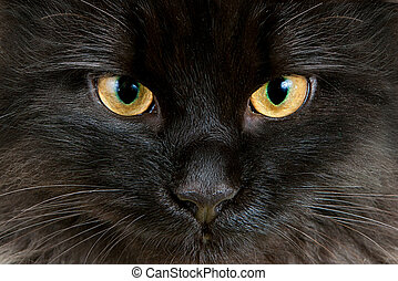 Yellow eyes with green rim of young black cat close-up