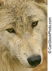 Timberwolf, Canis lupus. Close up.