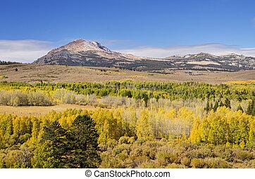 Yellow Fall Aspen Trees