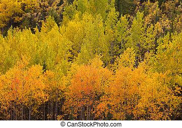 Yellow fall aspen trees Yukon boreal forest taiga